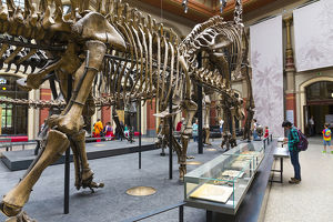 A dinosaur skeleton dwarfing a visitor in the Dinosaur Hall of t