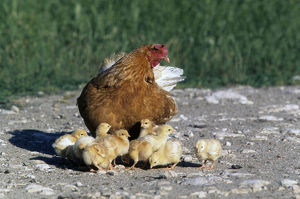 Domestic chicken (Gallus gallus domesticus)