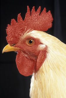 Domestic rooster (Gallus gallus domesticus)