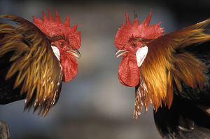 Domestic roosters (Gallus gallus domesticus)
