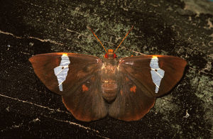 photographer galleries/roger brown/eastern dusk flat butterfly chaetocneme beata