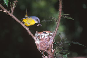 photographer galleries/roger brown/eastern yellow robin eopsaltria australis