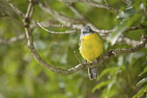 photographer galleries/nick rains/eastern yellow robin eopsaltria australis