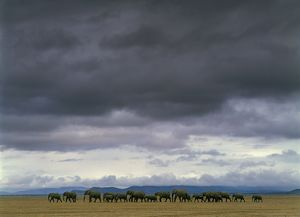 photographer galleries/jean michel labat/elephants africana loxodonta
