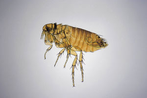 European chicken flea (Ceratophyllus gallinae)