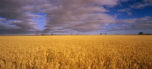 Field of ripening wheat,