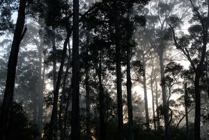 Forest of Karri (Eucalyptus diversicolor)