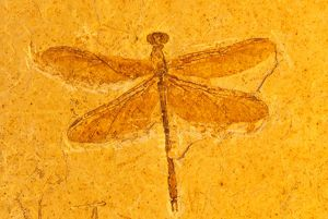 Fossil dragonfly,