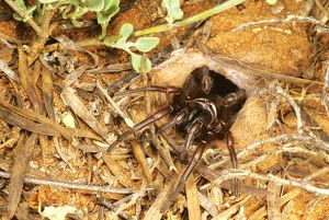 Funnel-web spider (Hadronyche sp.)