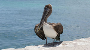 Galapagos brown pelican (Pelecanus occidentalis urinator)