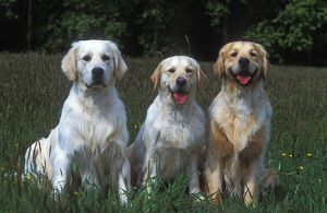 photographer galleries/jean michel labat/golden retreiver
