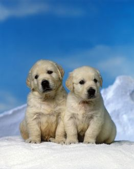 photographer galleries/jean michel labat/golden retreiver chiots