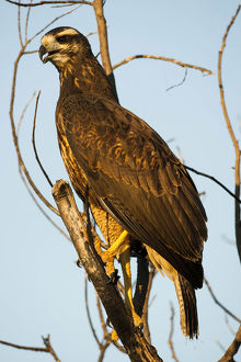 photographer galleries/mary ann mcdonald/great black hawk buteogallus urubitinga