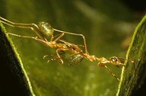 Green tree or Weaver ants (Oecophylla smaragdina)