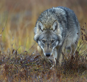 Grey wolf (Canis lupus)