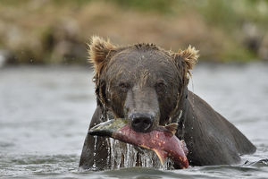 Grizzly Bear (Ursus arctos horribilis) Salmon Catch