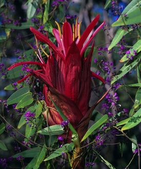 Gymea lily (Doryanthes excelsa)