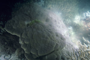 photographer galleries/mark spencer/hard coral porites sp