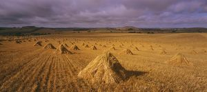 Harvested hay gathered into stooks.