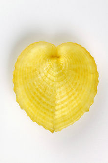 Heart cockle shell (Corculum cardissa)