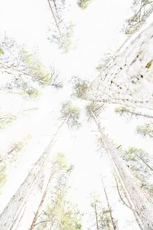 High key image looking upwards through forest of Scots pine (Pinus sylvestris)