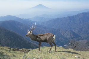 photographer galleries/nature production collection/hondo sika deer cervus nippon centralis