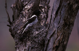 photographer galleries/roger brown/hooded robin melanodryas cucullata