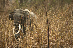 photographer galleries/joe mcdonald/indian elephant elephas maximus indicus