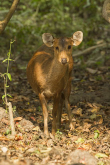 photographer galleries/joe mcdonald/indian hog deer hyelaphus porcinus