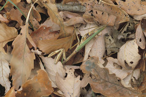 photographer galleries/nature production collection/japanese giant mantis tenodera aridifolia