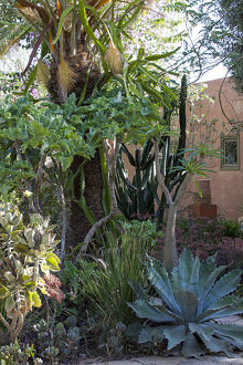Kalanchoe, Butterfly agave, Madagascar palm and Dasylirion in a