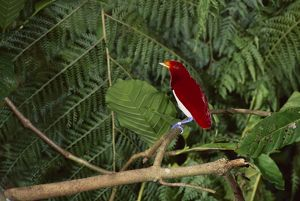 King bird-of-paradise (Cicinnurus regius)