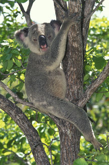photographer galleries/mark spencer/koala phascolarctos cinereus