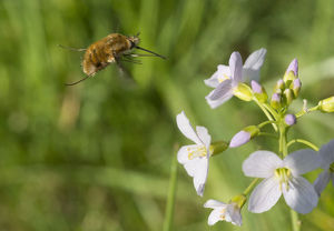 Large bee-fly (Bombilius major)