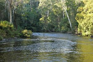 Leven River flowing through eucalyptus woodland