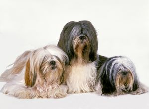 photographer galleries/jean michel labat/lhassa apso