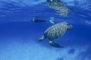 photographer galleries/mark spencer/loggerhead turtle caretta caretta