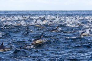 Long-beaked common dolphins (Delphinus capensis)
