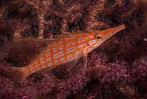 photographer galleries/mark spencer/longnose hawkfish oxycirrhites typus