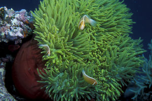 photographer galleries/mark spencer/magnificent sea anemone heteractis magnifica