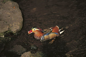 photographer galleries/nature production collection/mandarin duck aix galericulata