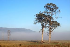 Morning mist and eucalyptus trees