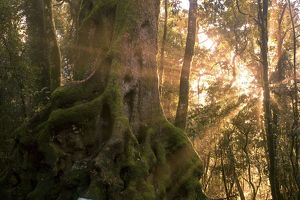 Morning sun penetrating forest of Antarctic beeches (Nothofagus moorei)