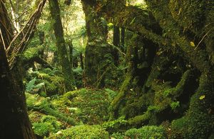 Moss-covered forest and ferns on Mount Fox,