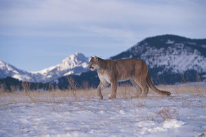 photographer galleries/nature production collection/mountain lion puma concolor