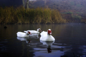 photographer galleries/ian beattie photography/muscovy ducks cairina moschata