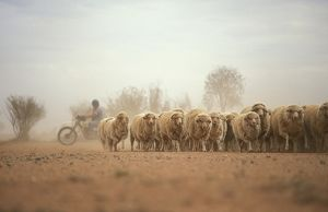 Mustering sheep by motorbike,