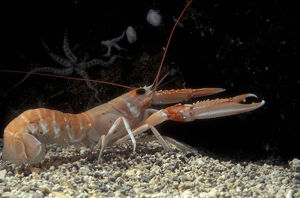 Norway lobster, also called Dublin Bay prawn and Langoustine (Nephrops norvegicus)