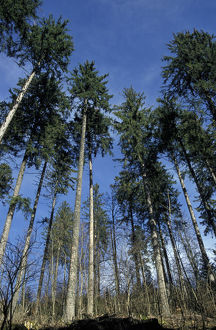 Norway spruce forest (Picea abies)