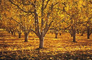 An orchard in autumn foliage.